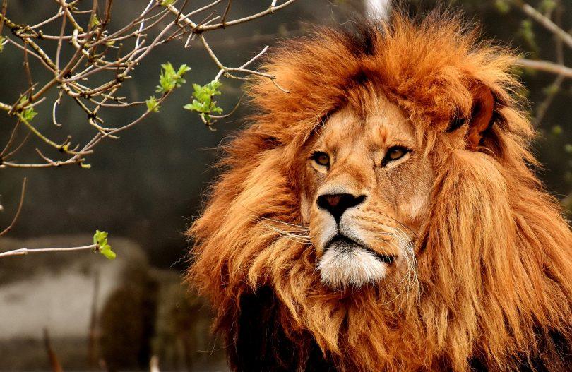 lion zoo de madrid