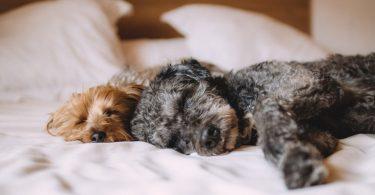 deux chiens allongés dans un lit au drap blanc