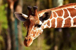 giraffe zoo de madrid