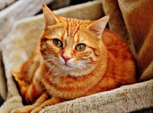chat tigré orange dans un drap