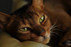 chat marron aux yeux verts