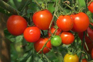 tomates rouges en grappe