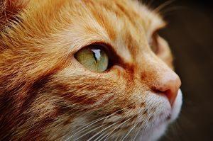 chat roux aux yeux verts