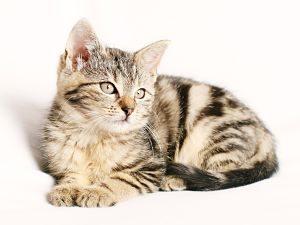 chat tigré sur un drap blanc